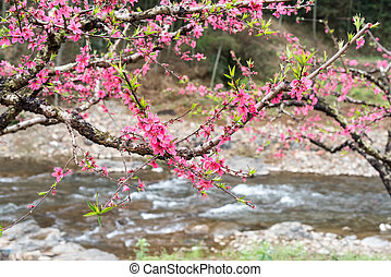 Peach Blossom in moutainous area in heyuan district,...