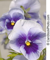 Three blue yellow white pansies on bright background