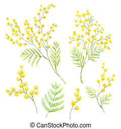 Watercolor mimosa flowers - Beautiful image with hand drawn...