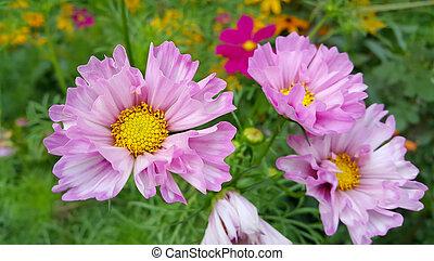 Beautiful Cosmos flowers in summer garden