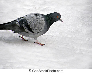 Wild pigeon in the snow in the winter.