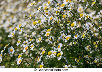 Wild chamomile flowers on a field sunny day.