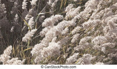 Close up of Pampas Grass Miscanthus sinensis in super slow...