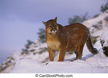 Mountain Lion in Snow - a mountain lion standing in deep...