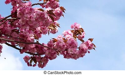 Branches of the sakura blossoms against the blue sky