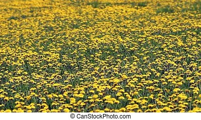 Field of blooming dandelions on sunny day