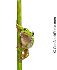 European Tree frog frontal vertical - Green European Tree...