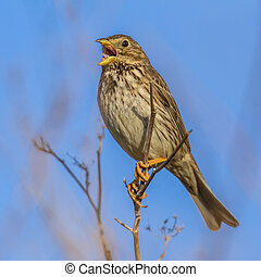 Corn Bunting singing from high position - Corn Bunting...