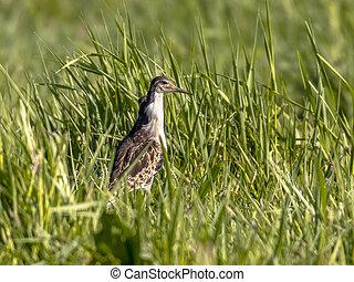 Male Ruff on migration - Male Ruff (Philomachus pugnax) in...