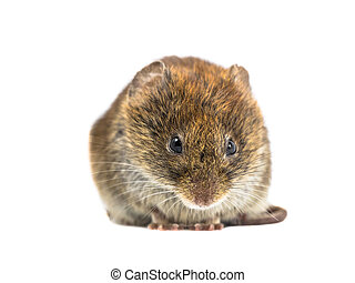 Frontal close up of angry Bank vole - Frontal close up of...