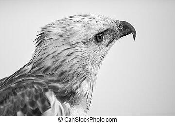 Portrait of beauty hawk ,Changeable Hawk Eagle
