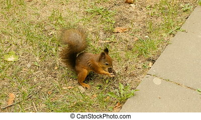 Squirrel eats the Nuts in the Park and run away.