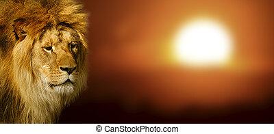Stående, lejon, solnedgång