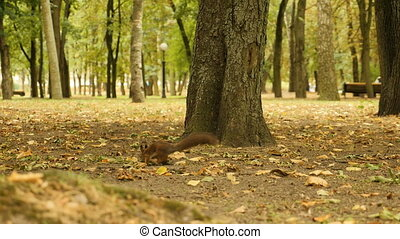 Squirrel in Search of Food in the Park