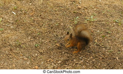 Squirrel finds the Nuts in the Ground.