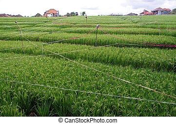 Bauernhof, Feld, Reis