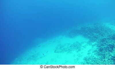 Big Tropical Fish on Coral Reefs Underwater in the Red Sea....