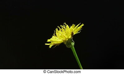 Taraxacum officinale with many bugs on black background