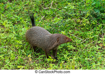 Banded mongoose (Mungos mungo colonus). Wild life animal....