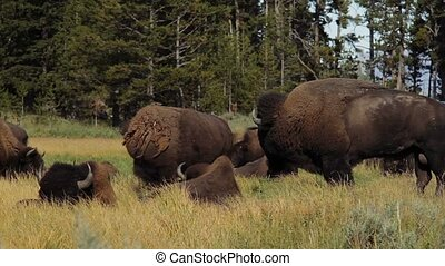 vereint,  bisons,  national, Staaten,  Park,  Yellowstone
