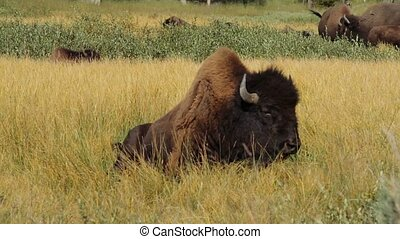 Bisons In Yellowstone National Park, United States - Graded...