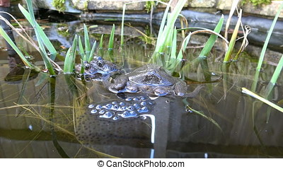 Frogs and Frogspawn - Footage of a pair of mating Frogs...