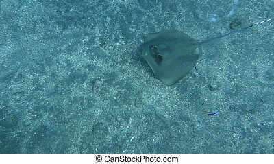 Blue spotted ray swimming amongst coral reef on the ocean...