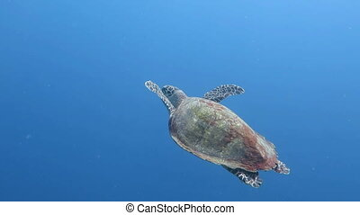 Green sea turtle Chelonia mydas It floats on the water...