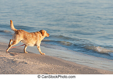 Pet friendly beach - Happy dog playing with waves on Fort...