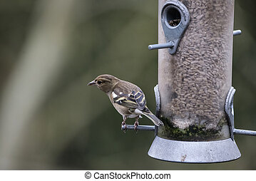 Beautiful Female house sparrow passer domesticus on bird...