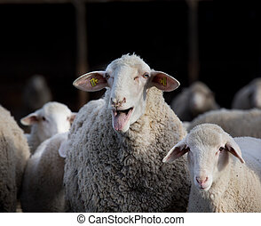 Sheep flock in barn - Sheep flock with lamb standing on farm...