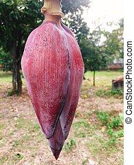 Red banana flower stem on tree