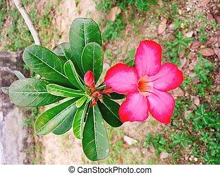 Red Champa flower in garden