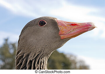 Wild goose head - Wild goose waterfowl head with red beak...