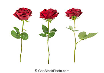Red roses on a white background - Set of three luxurious...