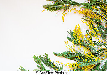 Acacia dealbata known as silver wattle, blue wattle and...