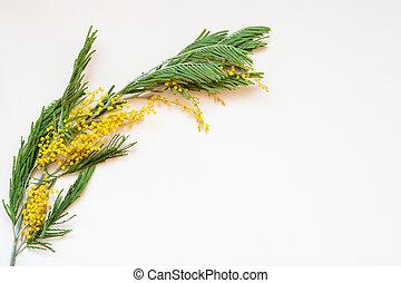 Acacia dealbata known as silver wattle, blue wattle and...