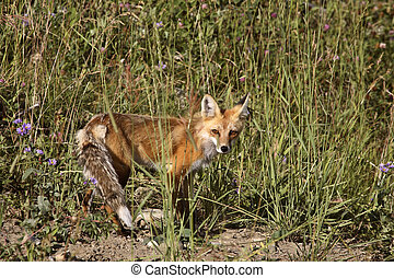 Young Red Fox in roadside grass