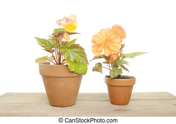 Two begonia plants in pots on a wooden bench