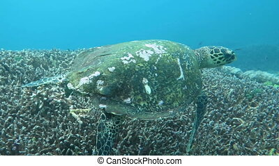 Hawksbill sea turtle current on coral reef island Bali. -...