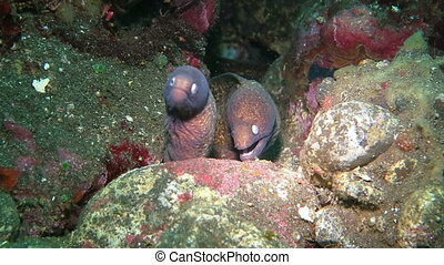 Giant moray hiding amongst coral reef on the ocean floor,...