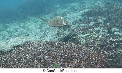 Hawksbill sea turtle current on coral reef island Bali.