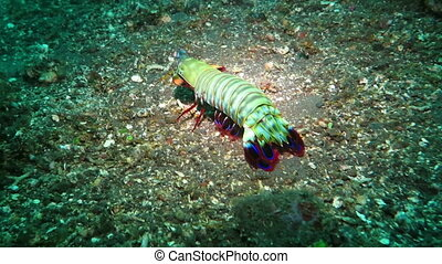 Lobster Palinurus elephas, also known as the Mediterranean...