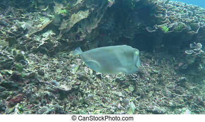 Wild catfish hiding and running in the clean blue water.