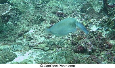 Wild catfish hiding and running in the clean blue water....