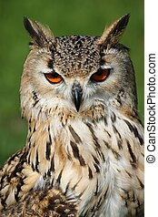 Bengal Eagle Owl Portrait - Bengal eagle owl with orange...