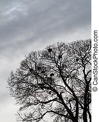 Crows Nest - Silhouette of crows building their nests in...