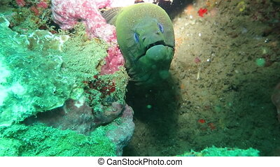 Giant moray hiding amongst coral reef on the ocean floor, Bali