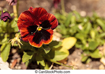Colorful pansy flower known as Viola tricolor var. hortensis...