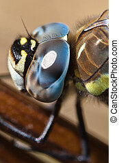 Dragon fly head - The head of a dragon fly